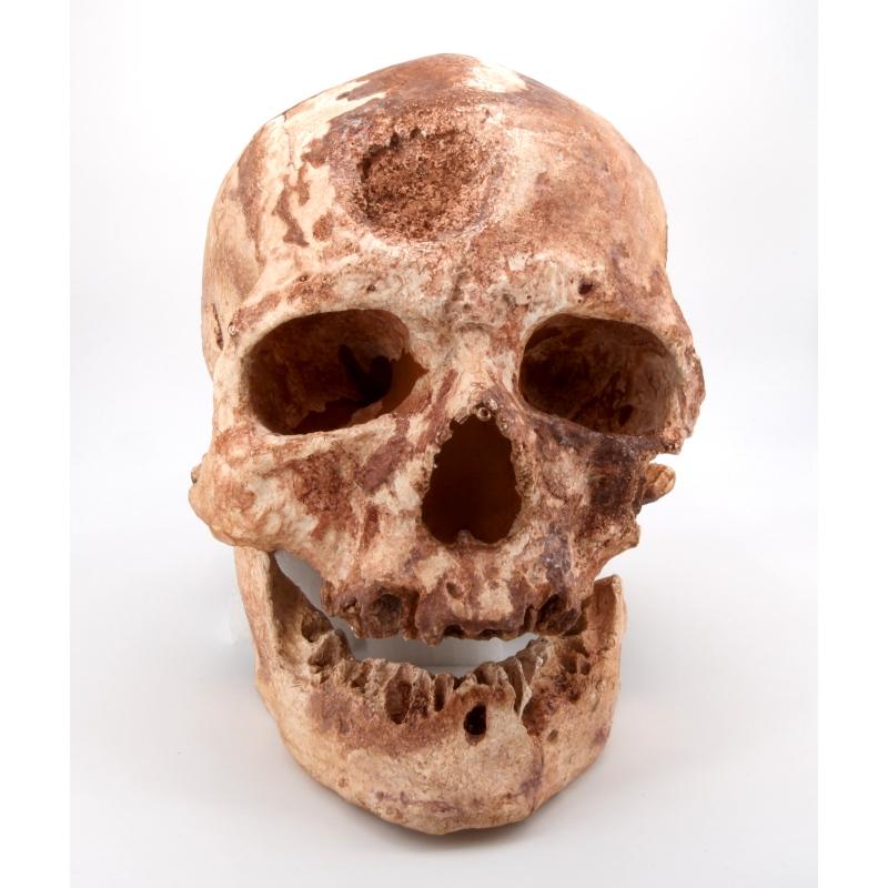 Crâne et mandibule Cro-Magnon - Homo sapiens