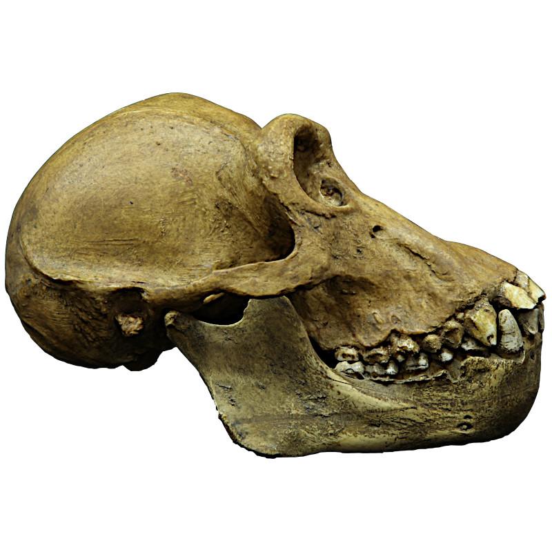 Chimpanzé crane mandibule