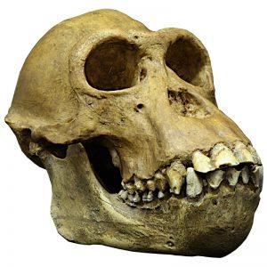 Chimpanzé crane mandibule2