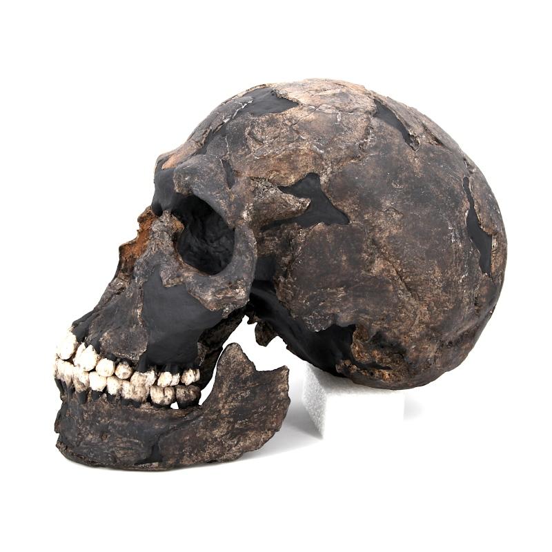 """Crâne et mandibule Qafzeh 9 - Homo sapiens """"archaïque"""""""