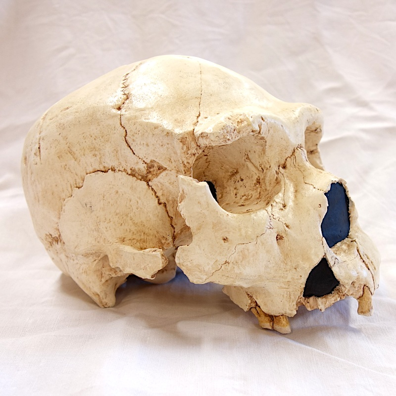 "Crâne Atapuerca 5 (AT 700) - Homo Neanderthalensis ""protonéanderthalien"""