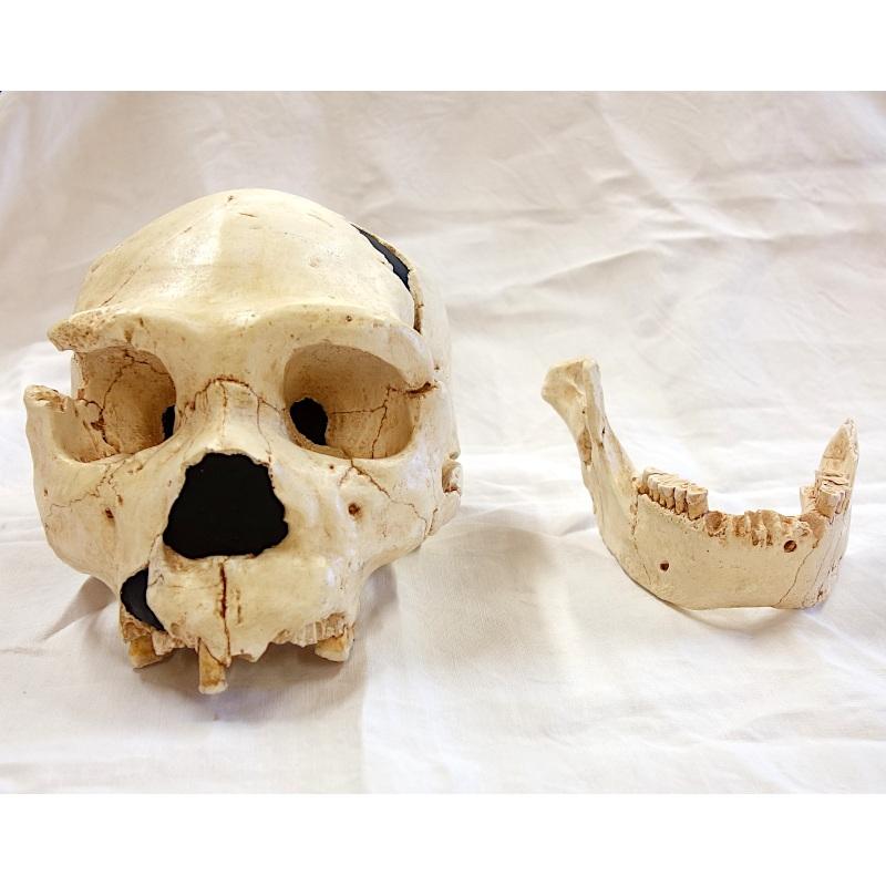 "Crâne Atapuerca 5 + mandibule - Homo Neanderthalensis ""protonéanderthalien"""