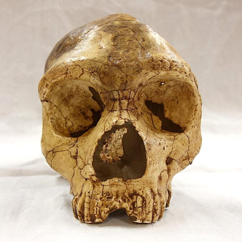 Crâne Gibraltar 1 - Homo neanderthalensis