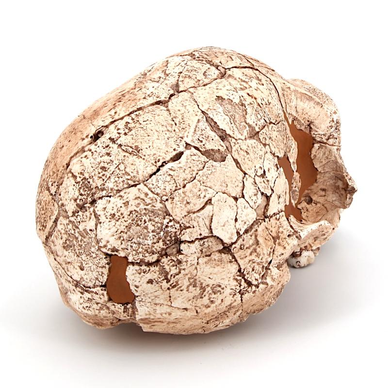 Crâne KNM-ER 1813 - Homo habilis