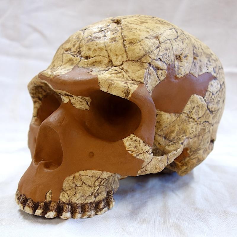 """Crâne Skhul 5 - Homo sapiens """"archaïque"""""""
