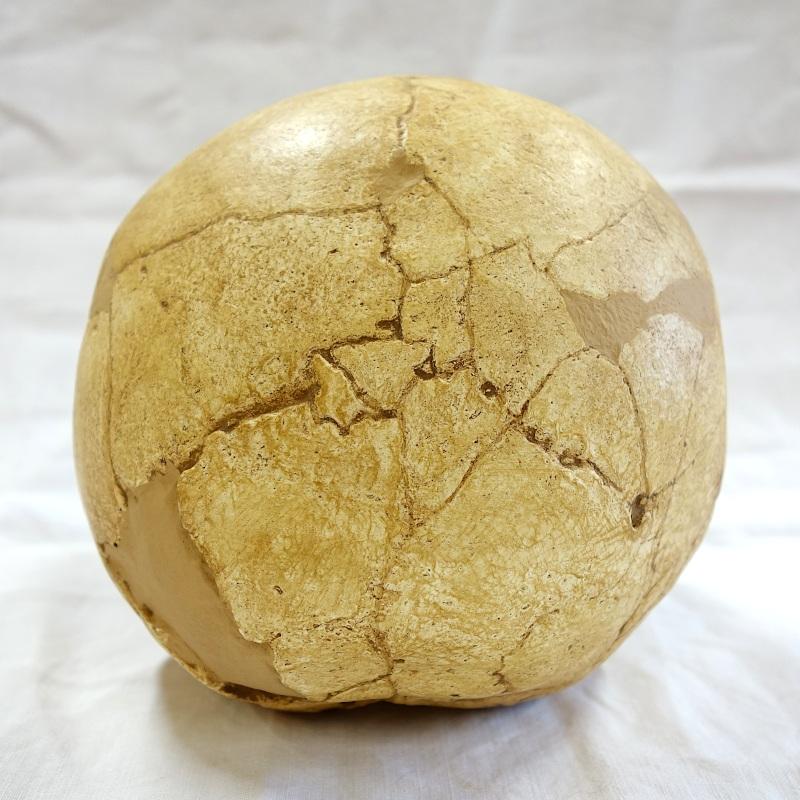 Crâne Teshik-Tash - Homo neanderthalensis