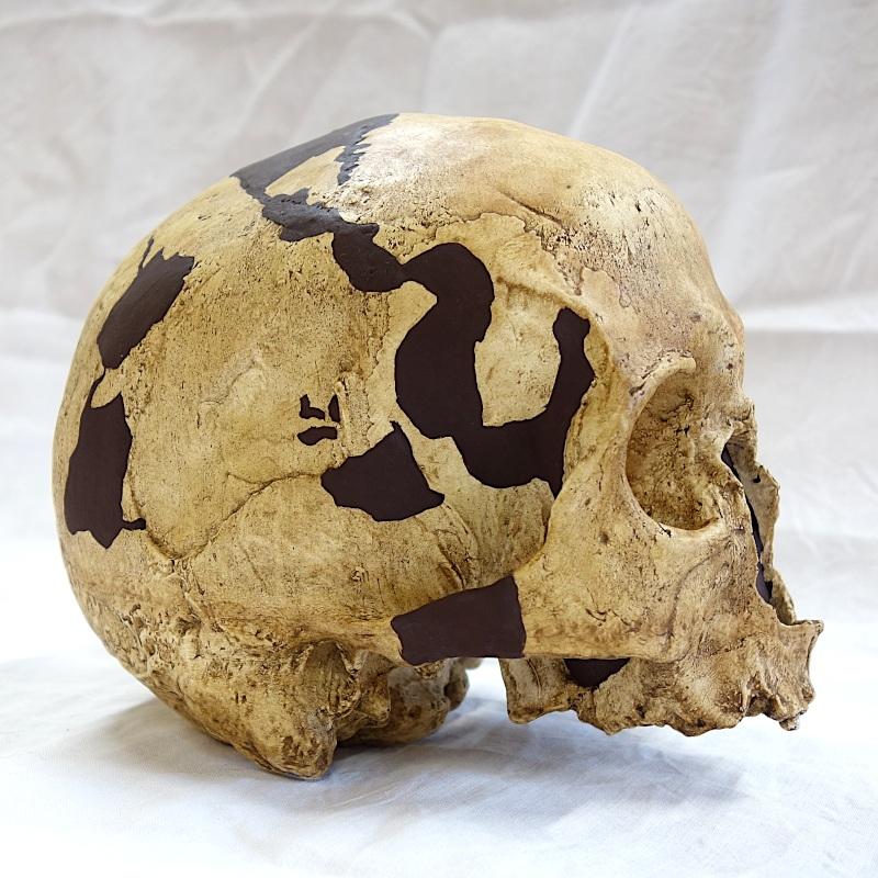 Crâne La Chancelade - Homo sapiens