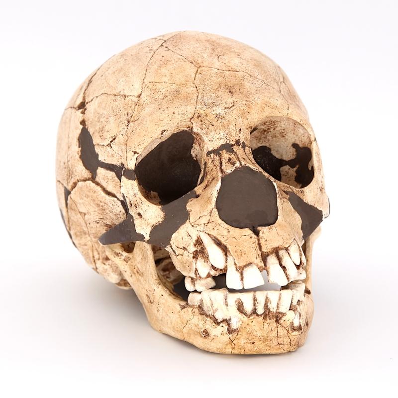 Crâne et mandibule Teshik-Tash - Homo neanderthalensis