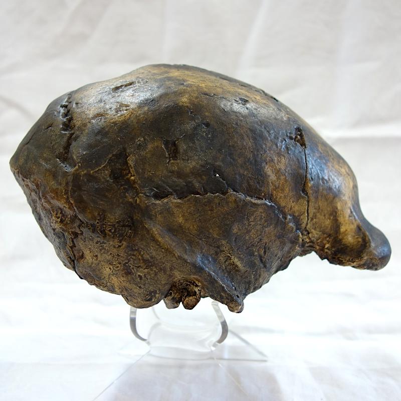 Calotte crânienne Sinanthrope 3 / Zhoukoudian 3 - Homo erectus