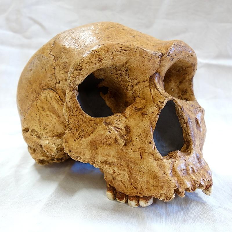 Crâne Petralona 1 - Homo heidelbergensis