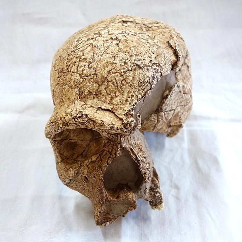 Crâne de Steinheim - Homo heidelbergensis