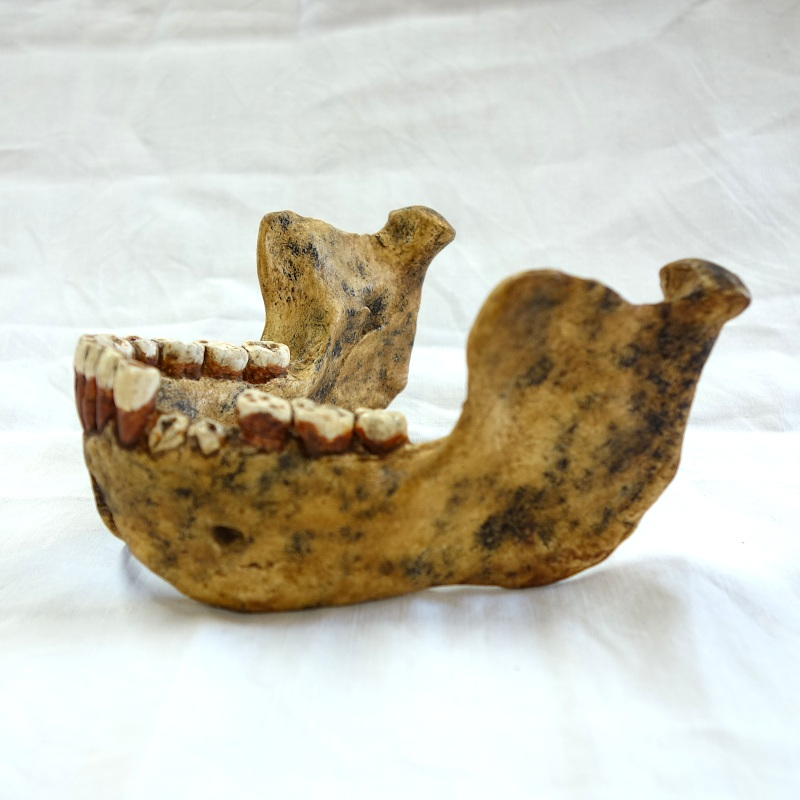 Mandibule de Mauer - Homo heidelbergensis