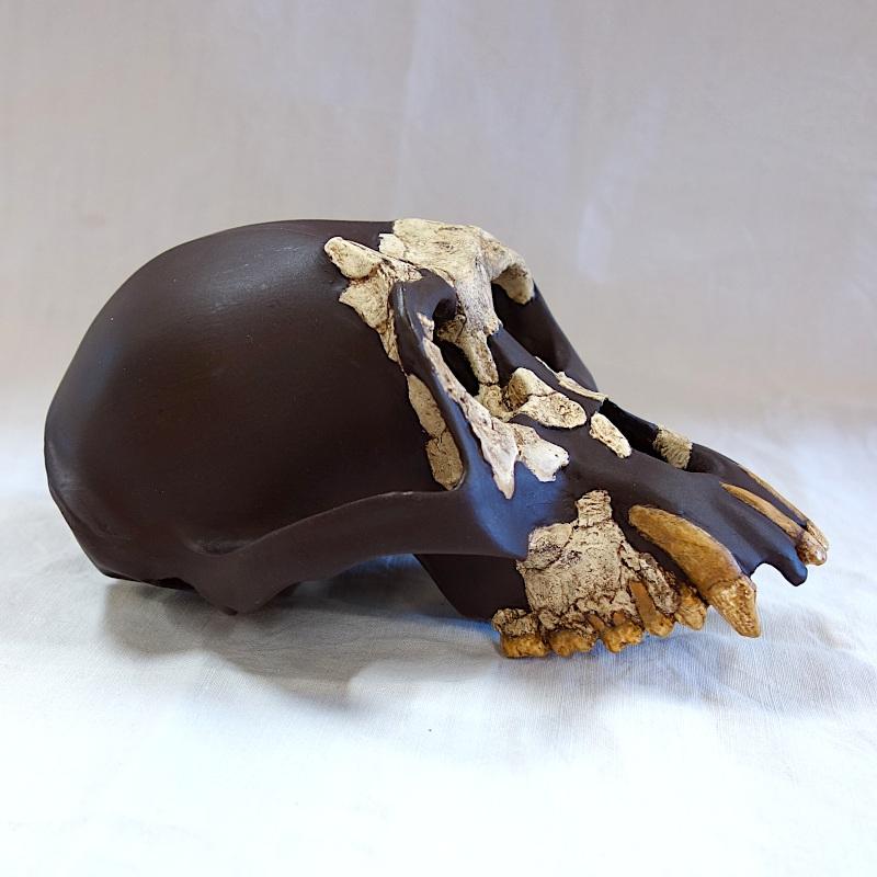 "Crâne CLI 18000, ""Jordi"" - Dryopithecus laietanus"