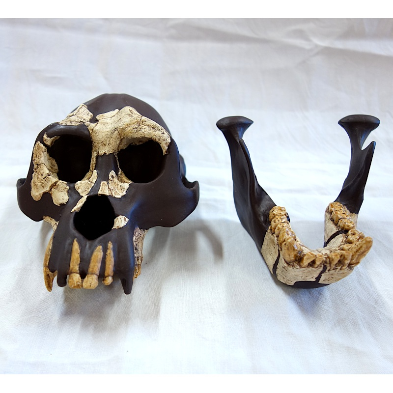 "Crâne et mandibule CLI 18000, ""Jordi"" - Dryopithecus laietanus"
