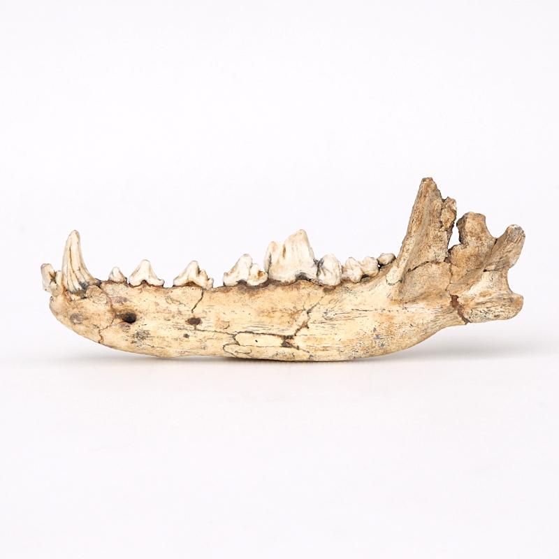 Hémi-mandibule de loup de Mosbach - Canis mosbachensis