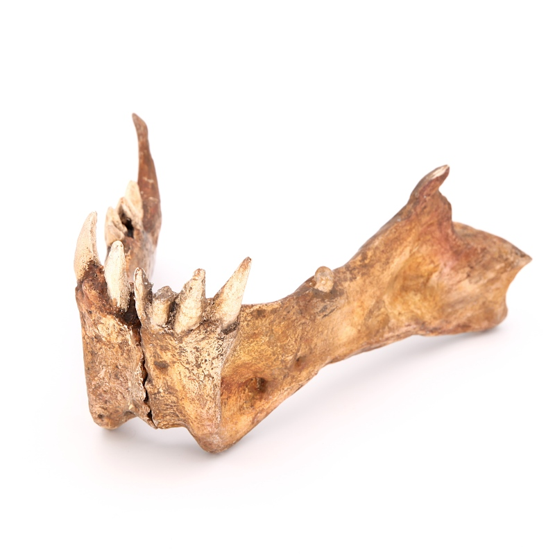 Hémi-mandibules droite et gauche d'homotherium latidens