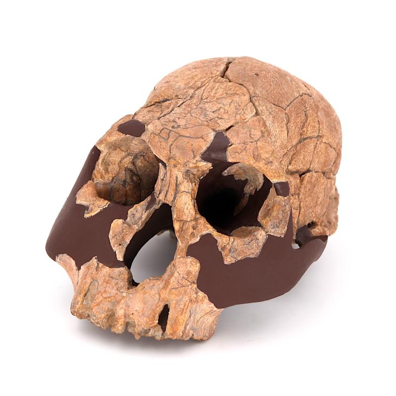 Crane KNM-ER 1470 - Homo rudolfensis