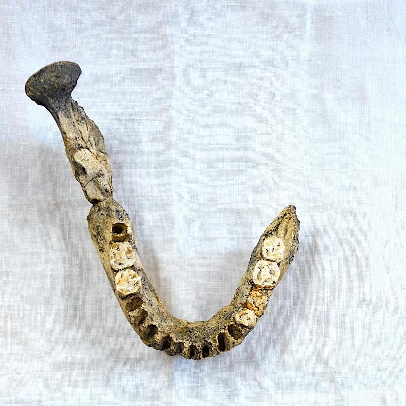 Mandibule Arago 2 - Homo heidelbergensis