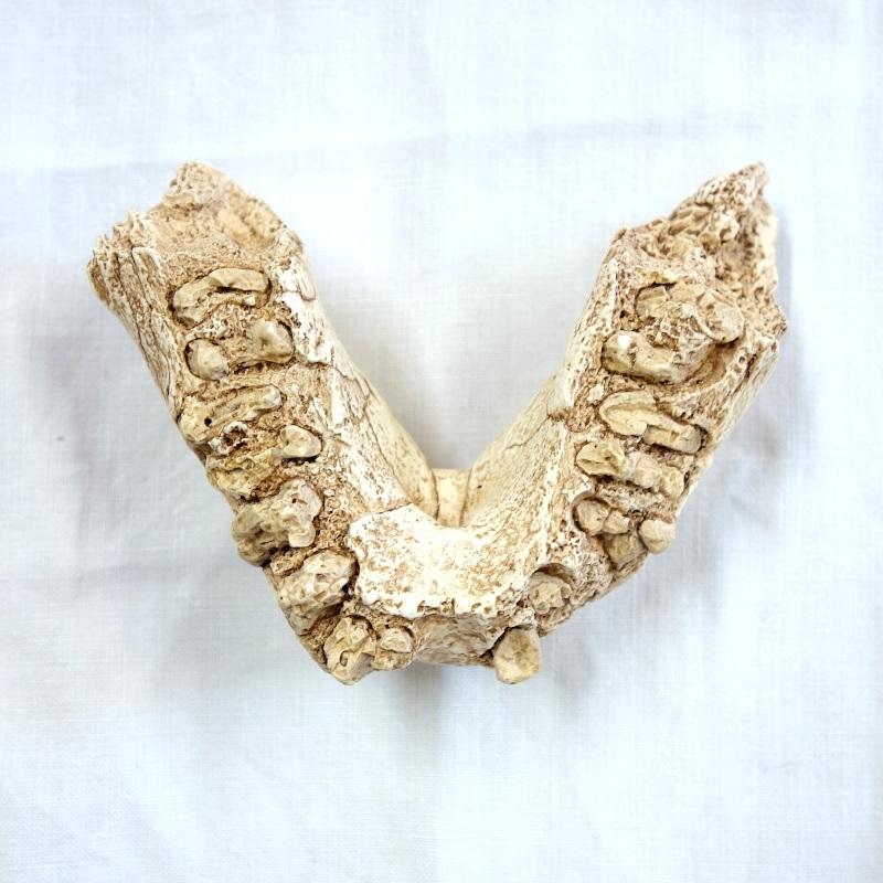 Mandibule Omo 18-1967-18 - Paranthropus aethiopicus