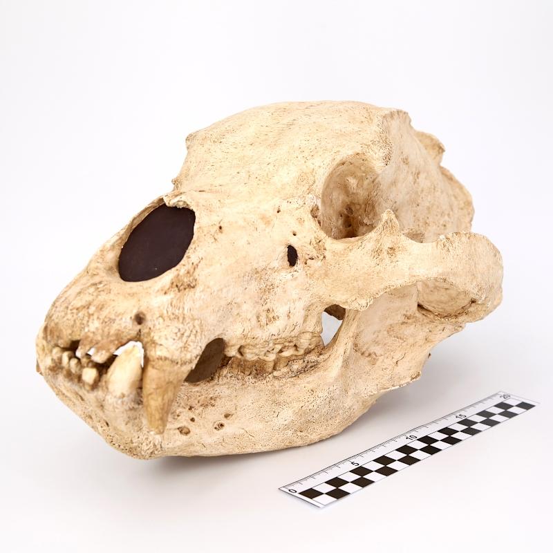 Crâne et mandibule ours brun actuel - Ursus arctos