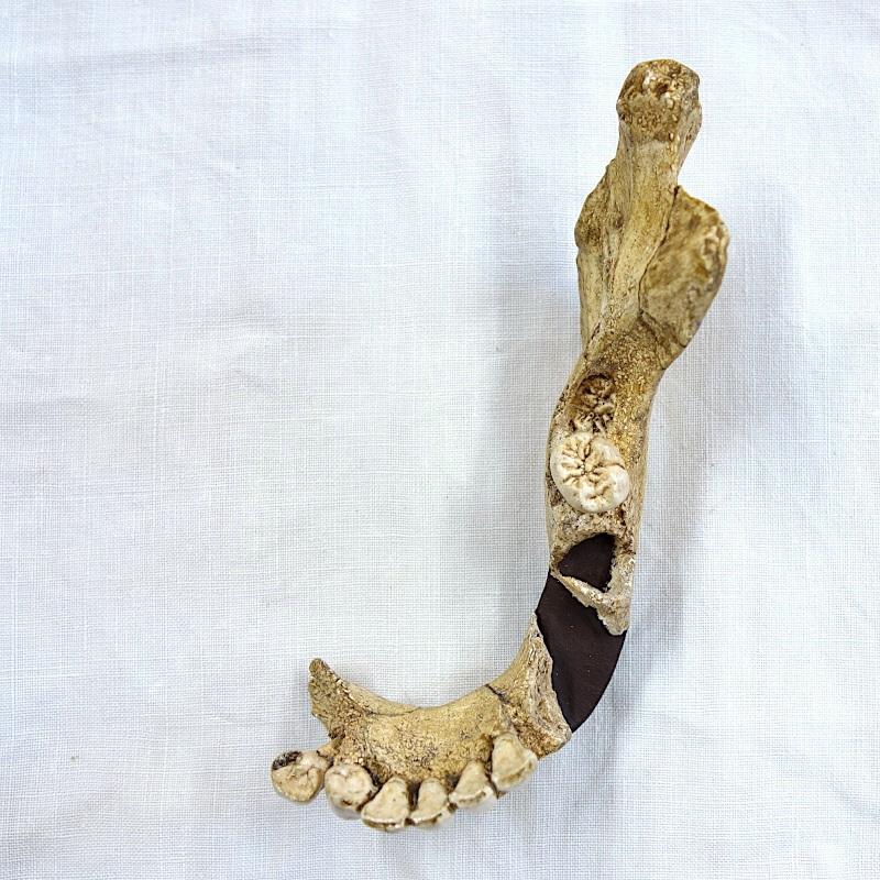 Hémi-mandibule Hortus 4 - Homo neanderthalensis