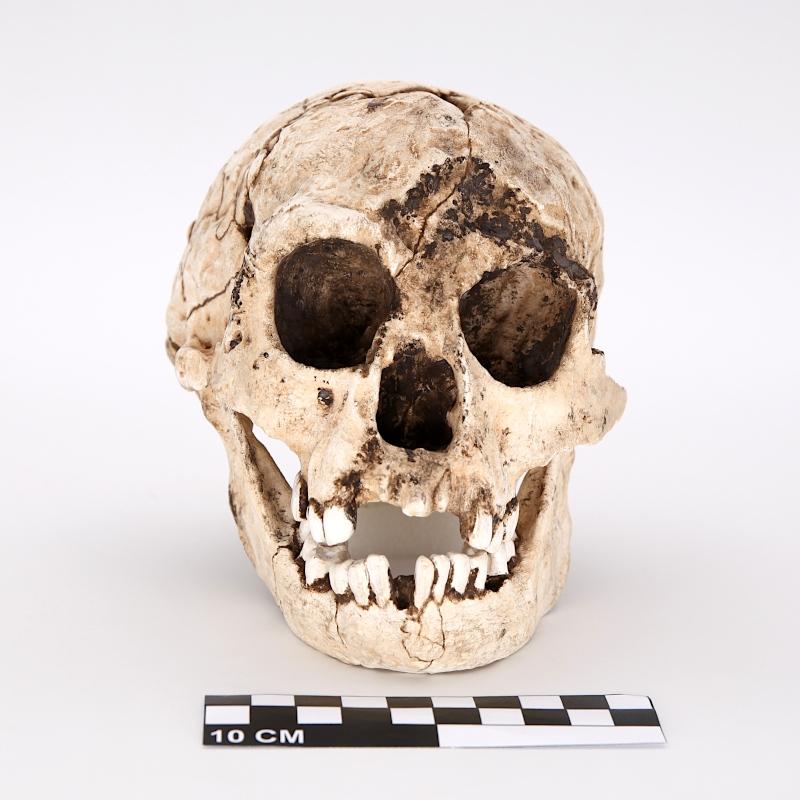"Crâne et mandibule Liang Bua 1, ""EBU"" - Homo floresiensis"