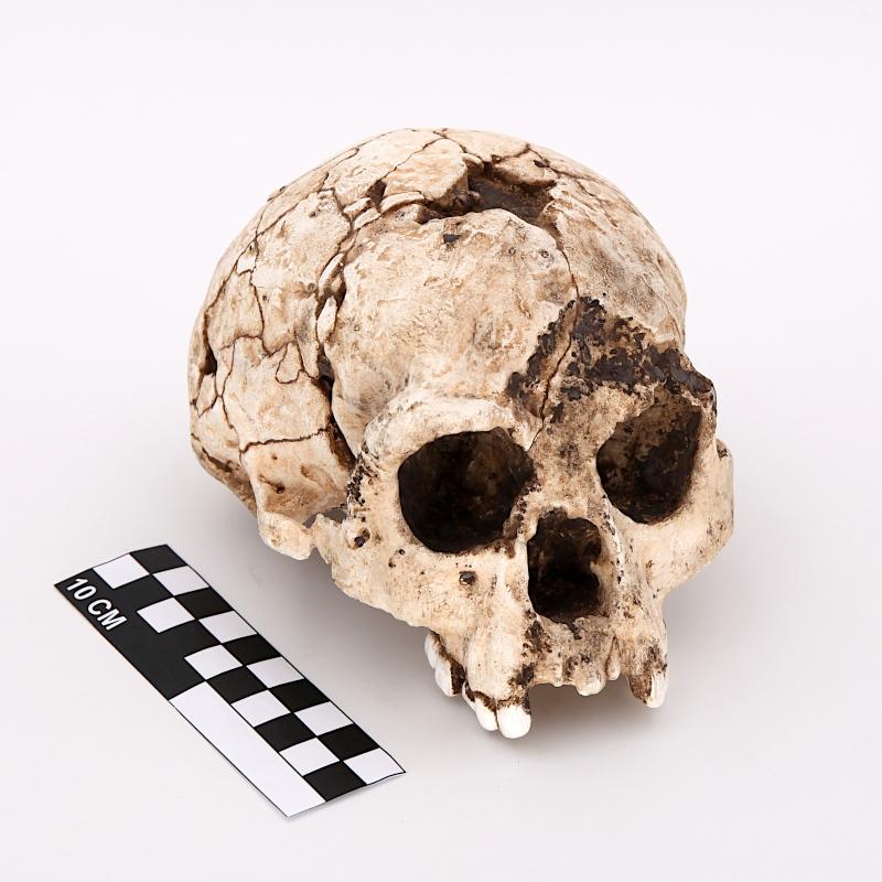 "Crâne Liang Bua 1, ""EBU"" - Homo floresiensis"