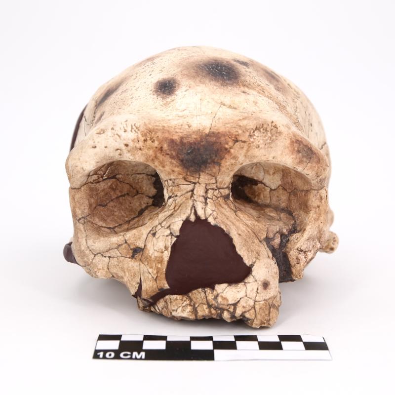 """Crâne Dali- Homo erectus / Homo sapiens """"archaïque"""""""