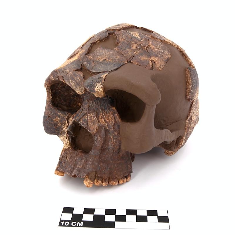 Crâne Herto I - Homo sapiens - Afar
